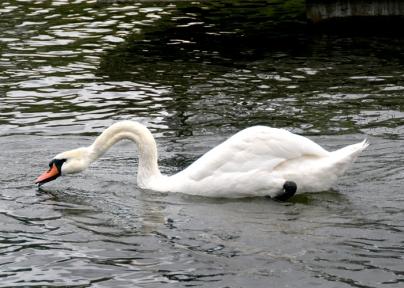 swan neck 5x7 net
